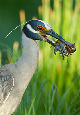 Bird eating a crayfish